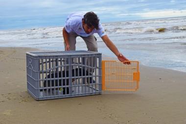 Projeto Pinípedes do Sul realiza soltura de tartaruga e lobo-marinho