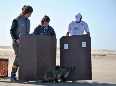 Três lobos marinhos são devolvidos ao seu habitat pelo CRAM e Projeto Pinípedes do Sul