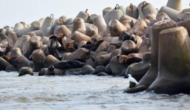 Fim do veraneio marca retorno dos pinípedes na costa do Rio Grande do Sul
