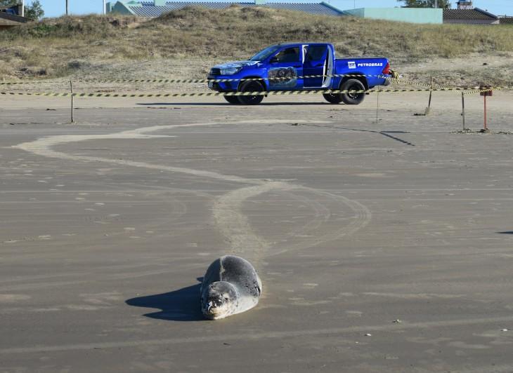 Pinípede raro é registrado no litoral gaúcho
