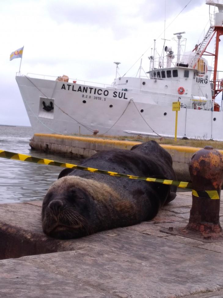 Leões-marinhos têm ocupado áreas centrais de Rio Grande