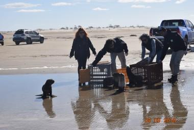 Projeto Pinípedes do Sul e CRAM realizarão soltura de animais marinhos reabilitados