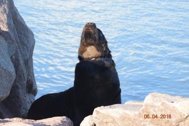 Projeto Pinípedes do Sul relata impactos causados por resíduos plásticos nos leões e lobos-marinhos do sul