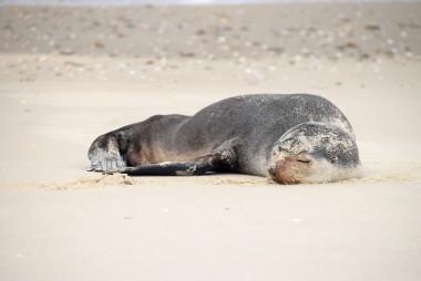 Dois lobos marinhos do peito branco são registrados pelo Projeto Pinípedes do Sul