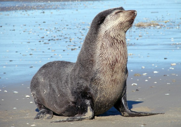 Lobo Marinho Subantártico