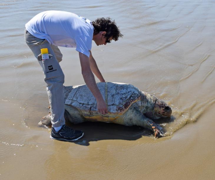 29 tartarugas-verdes são resgatadas pelo Projeto Pinípedes do Sul