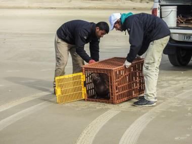 Projeto Pinípedes do Sul realiza soltura de dois lobos-marinhos reabilitados